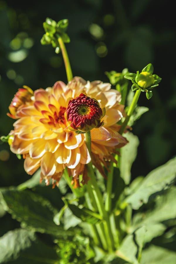 Dahlia flower grown in wild field royalty free stock photo