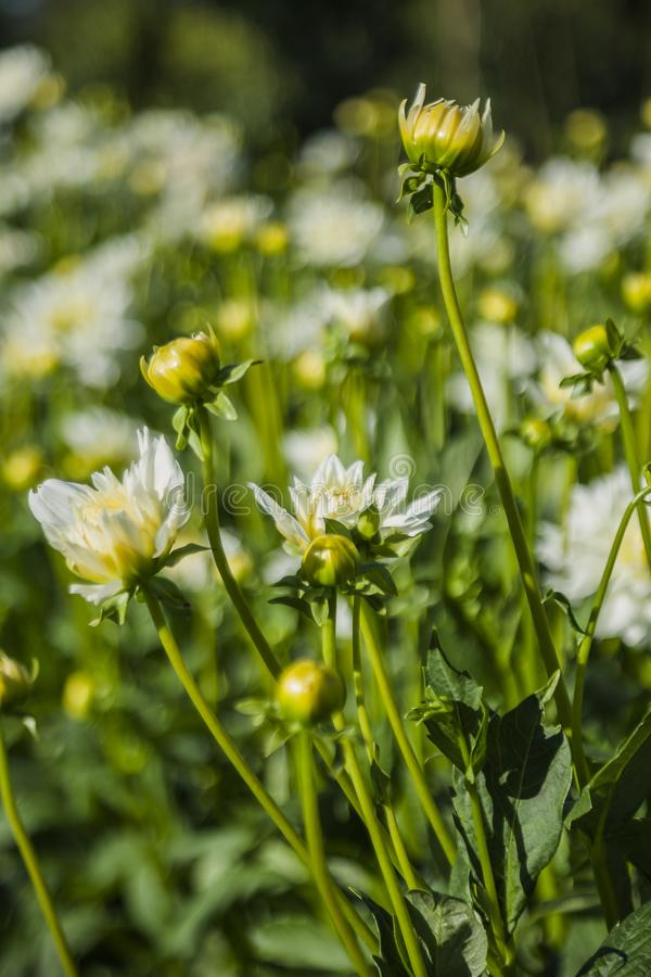 Dahlia flower grown in wild field stock image