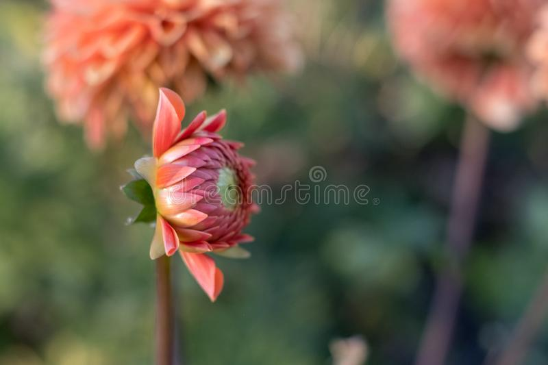 Dahlia flower head starting to open up, photographed from the side in natural day light. Photographed in the late afternoon, July 2018 royalty free stock image