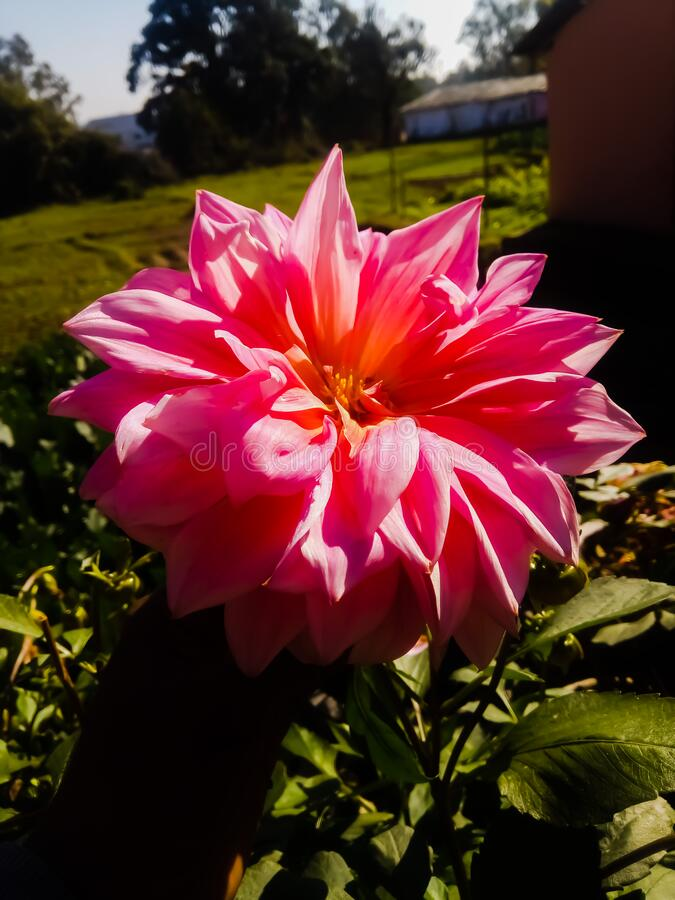 Dahlia flower, its color is pink and it is very beautiful to see. Nature stock image