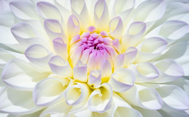 Dahlia Flower royalty-vrije stock fotografie