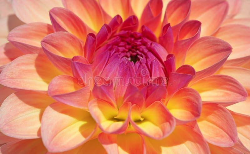 Dahlia Flower stock foto's