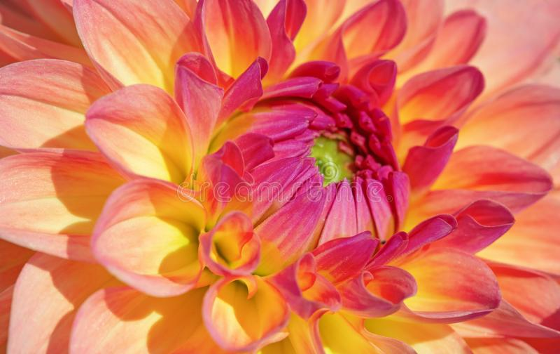 Dahlia Flower royalty-vrije stock afbeelding