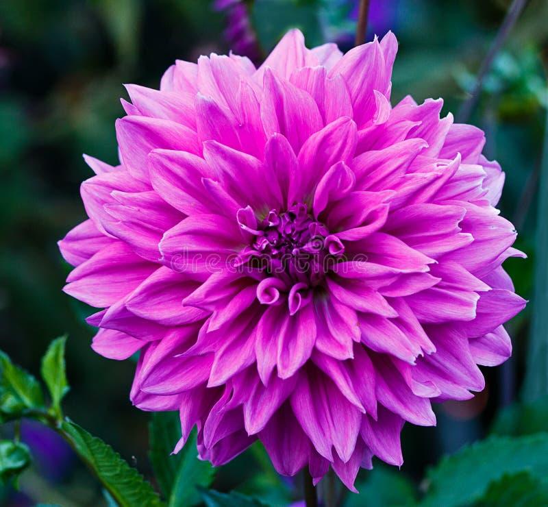Dahlia Flower Mauve /purple image libre de droits