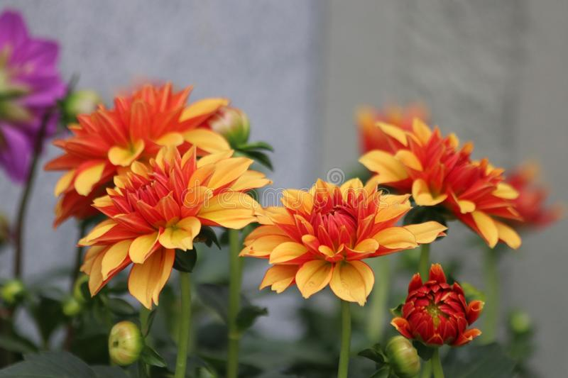 Dahlia flower Meadow. Orange Beautiful Flowers are Blooming in Spring royalty free stock images
