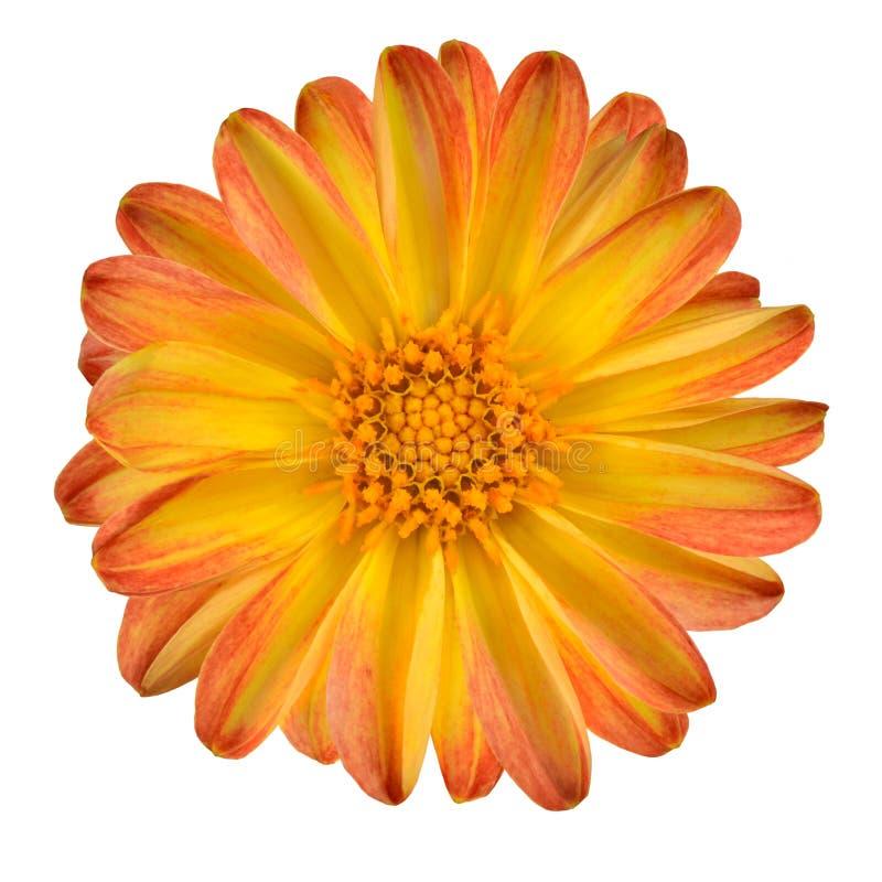 Dahlia Flower with Orange Yellow Petals Isolated stock image