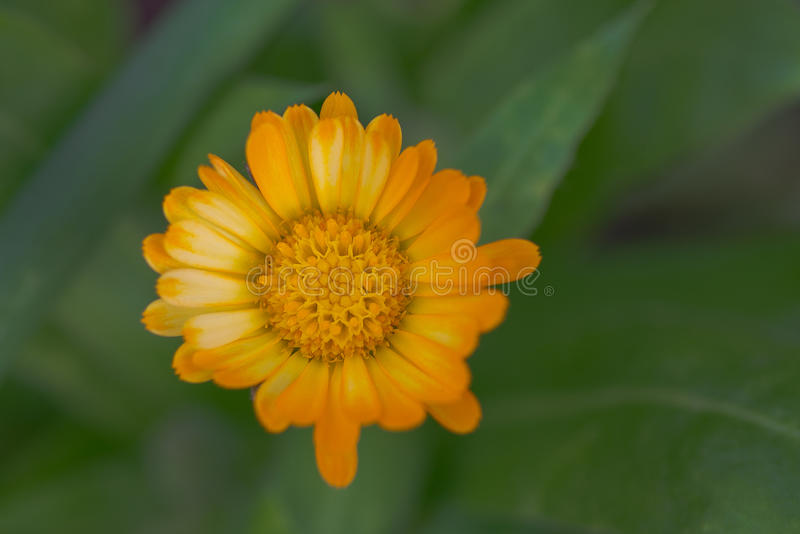 Dahlia Flower with Orange Yellow Petals. Isolated in Green Foliage royalty free stock image