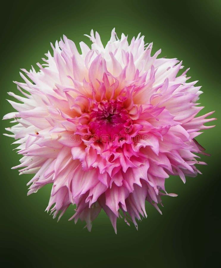 Dahlia Flower p? gr?n bakgrund arkivbild