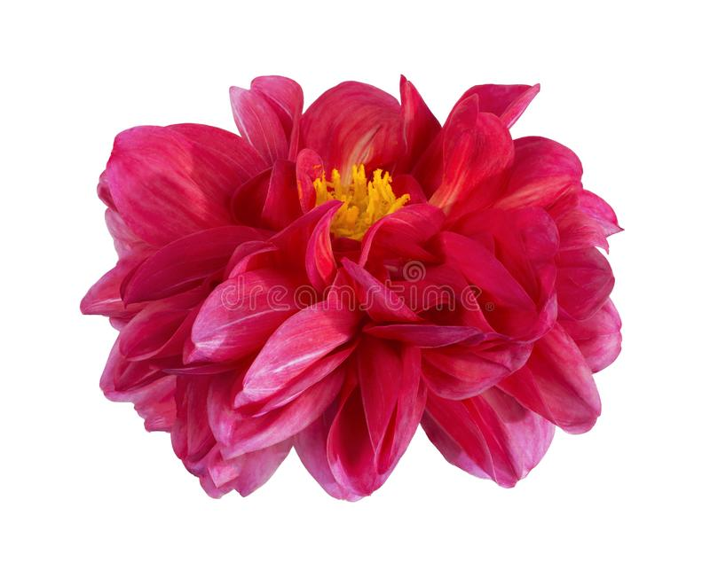 Dahlia flower, Pink dahlia flower with yellow pollen isolated on white background, with clipping path. Dahlia flower, Pink dahlia flower with yellow pollen stock images