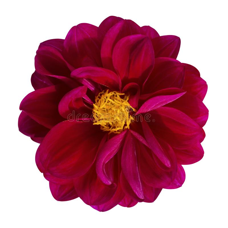 Free Dahlia Flower, Red Dahlia Flower Isolated On White Background, With Clipping Path Royalty Free Stock Photo - 160960415