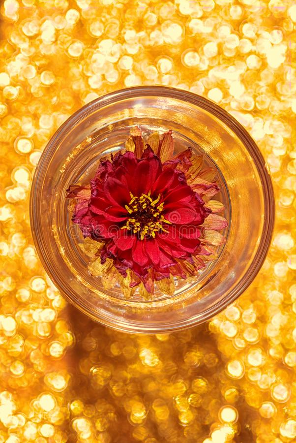 Dahlia flower in a shot glass of water. Abstract view of of a Dahlia Labella piccolo, flower, Asteraceae, suspended in a small shot glass of water with bokeh stock photos