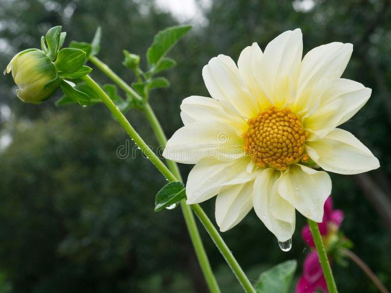 Dahlia flower in white and yellow color - closeup with blurred b. The Dahlia flower in white and yellow color - closeup with blurred background royalty free stock photo
