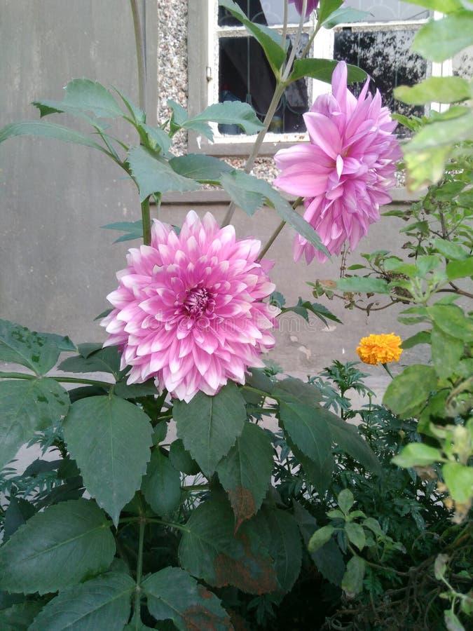 Dahlia Flowers stock afbeelding