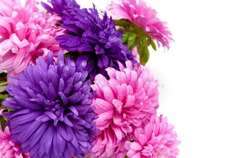 Dahlia Flowers stock image