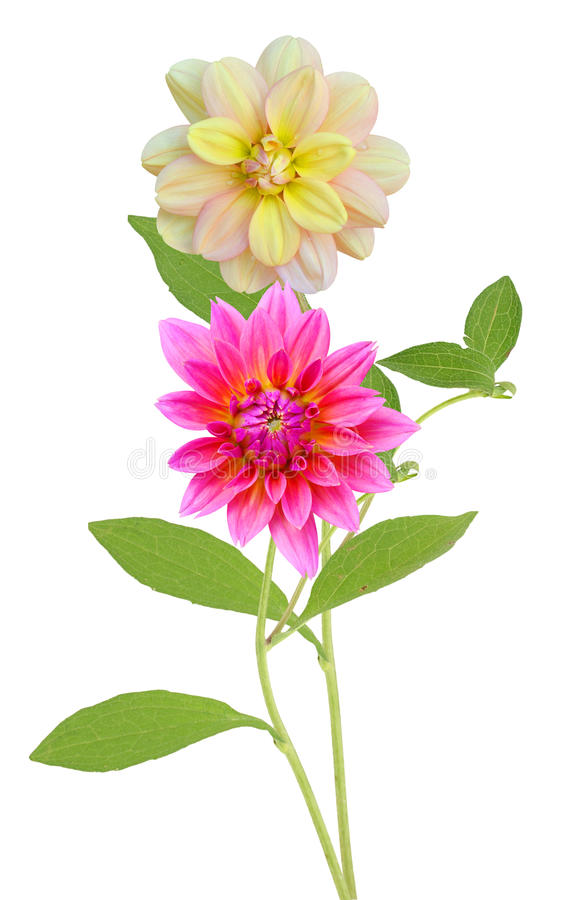 Dahlia Flowers imagem de stock royalty free