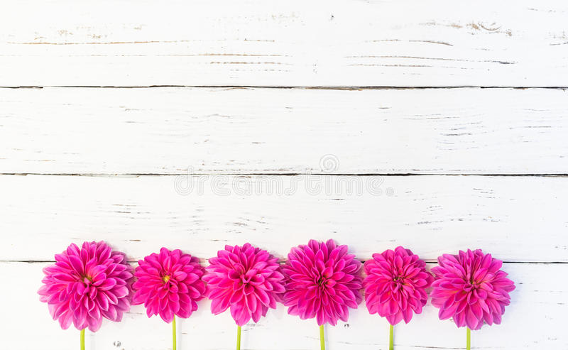 Dahlia Flowers Background rosa immagini stock
