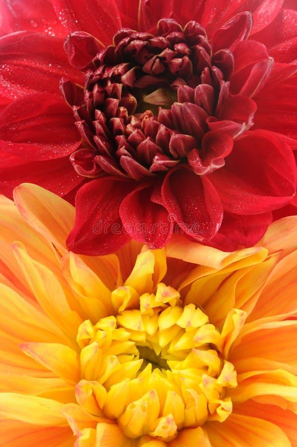 Dahlia Flowers Close-Up rouge et orange image stock