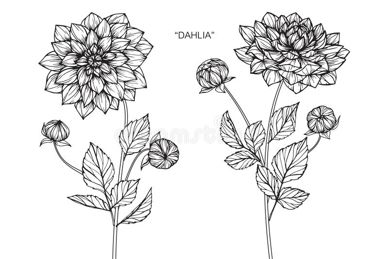 Dahlia flowers drawing and sketch libre illustration