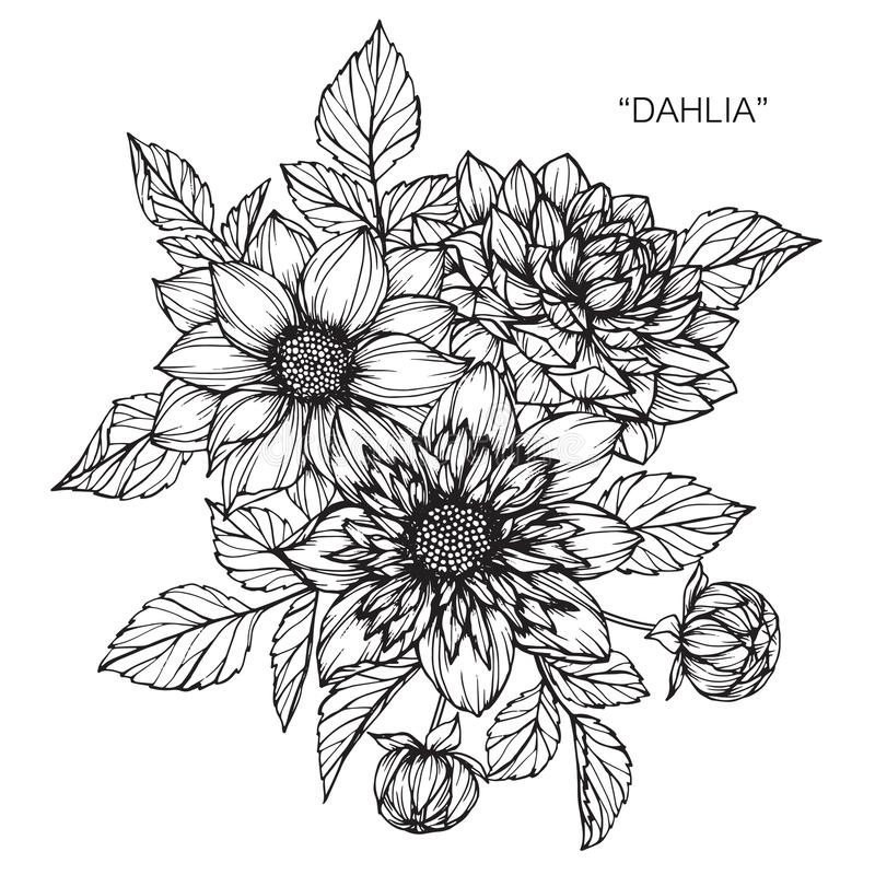 Dahlia flowers drawing and sketch ilustración del vector