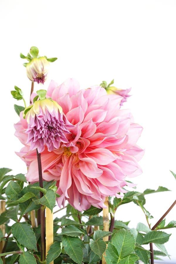 Dahlia Flowers rosa che fiorisce con il permesso verde isolato su fondo bianco immagine stock