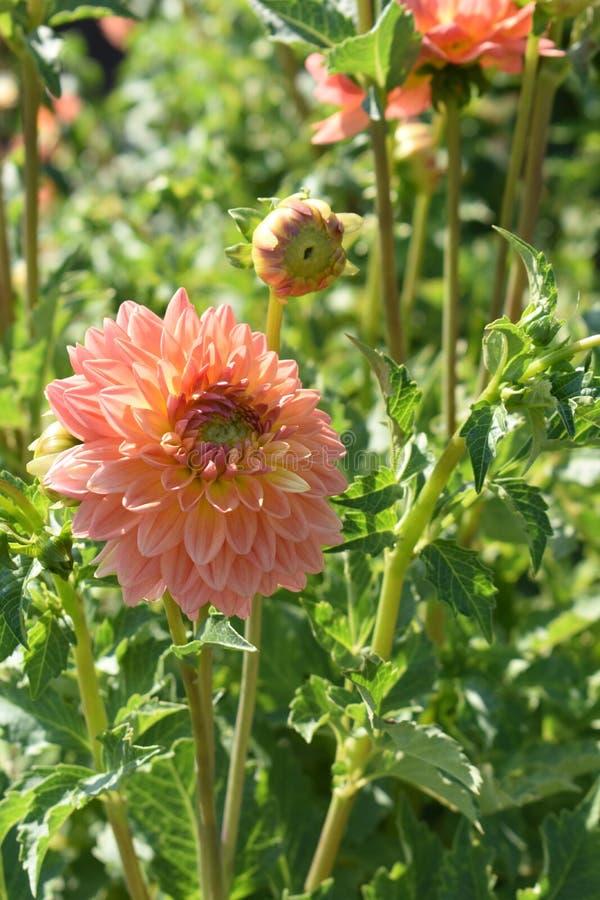 """Dahlia """"Gabrielle Marie """"en fleur image libre de droits"""