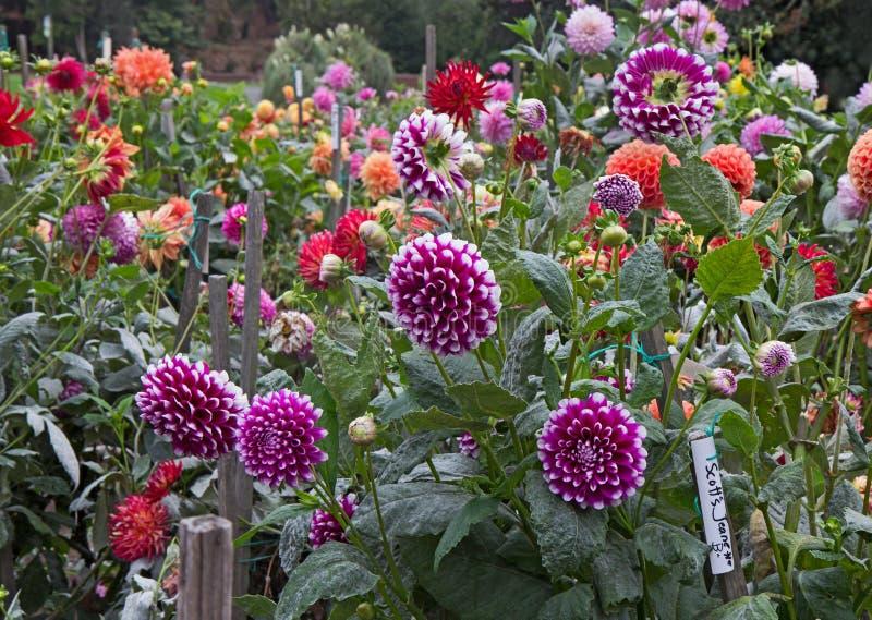 Download Dahlia Garden Stock Photo. Image Of Flower, Autumn, Flowers    44787264