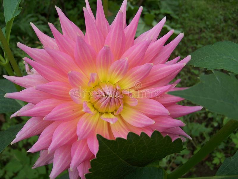 Dahlia in garden royalty free stock photography