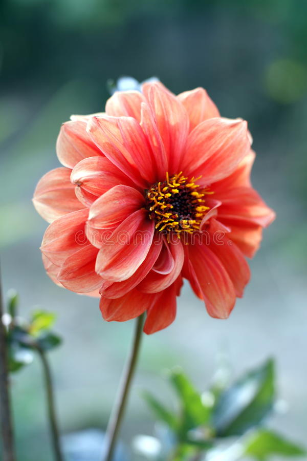 Dahlia. Is a genus of bushy, summer- and autumn-flowering, tuberous perennials that are originally from Mexico, where they are the national flower. In 1872 a royalty free stock images