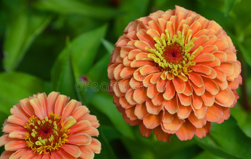 Dahlia is a genus of bushy, tuberous, perennial plants royalty free stock image