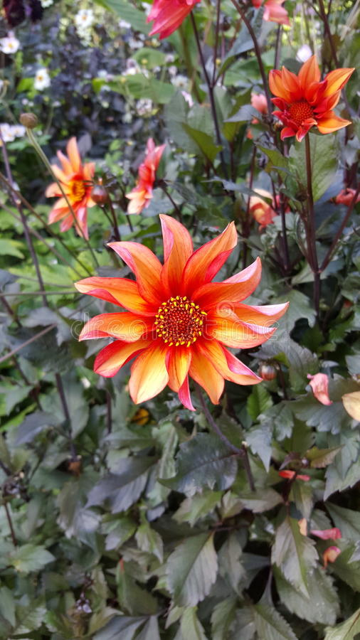 Dahlia. Great Comp stock images