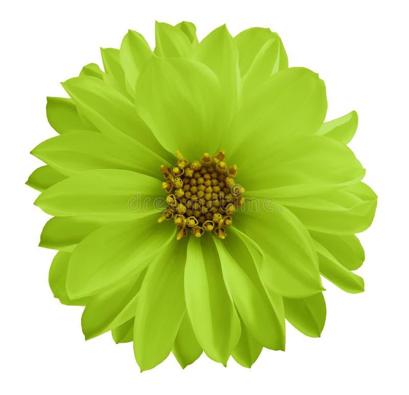 Dahlia groen-gele bloem op een wit geïsoleerde achtergrond met het knippen van weg Close-up geen schaduwen Nam op de bokehachterg stock foto