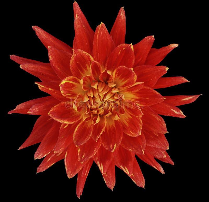 Dahlia helder rode bloem, zwarte die achtergrond met het knippen van weg wordt geïsoleerd close-up zonder schaduwen Grote, Bevlek stock foto