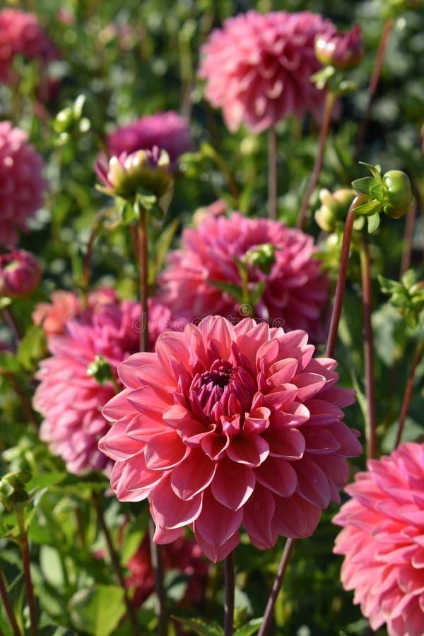 """Dahlia """"intrigue """"fleurissant dans le jardin images stock"""