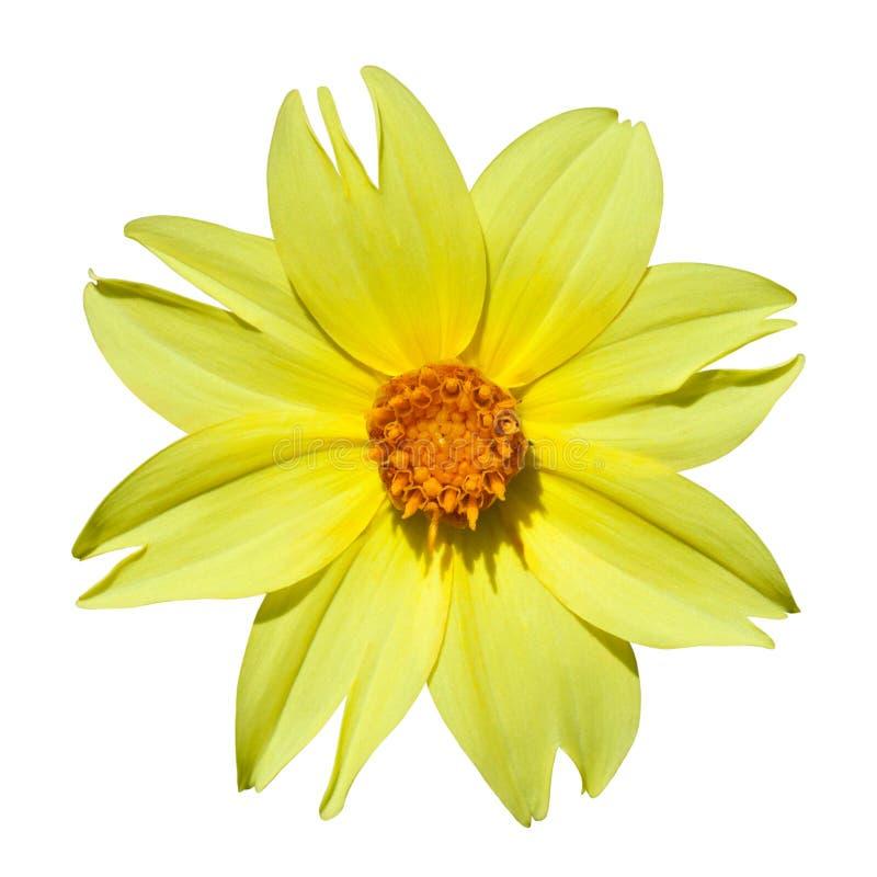 Download Dahlia jaune image stock. Image du couleur, jaune, lumineux - 45371431