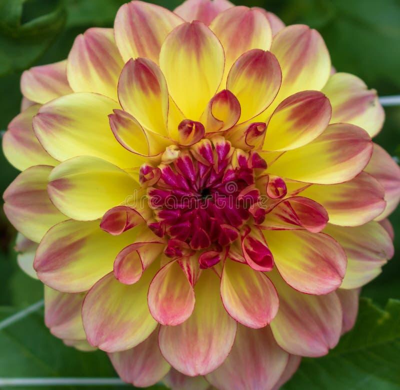 Dahlia jaune avec des accents rouges en fleur image libre de droits