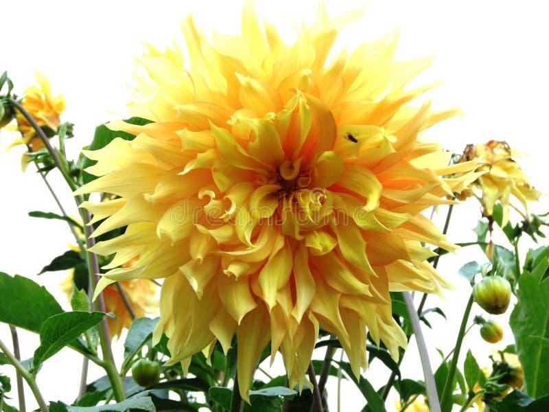 Dahlia jaune-clair sur un fond blanc photographie stock