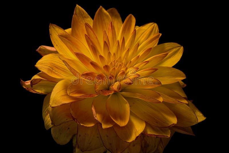 Dahlia jaune de chute photographie stock