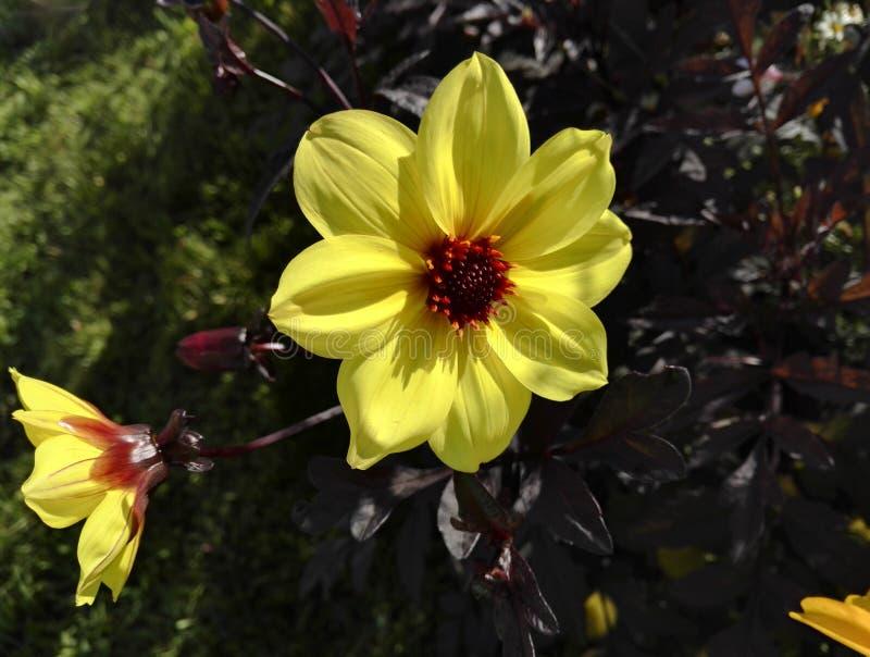 Dahlia 'Knock Out' ou 'Mystic Illusion' com suas grandes flores amarelas brilhantes e folhagem roxa imagem de stock