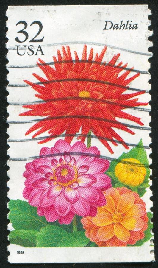 dahlia illustration stock