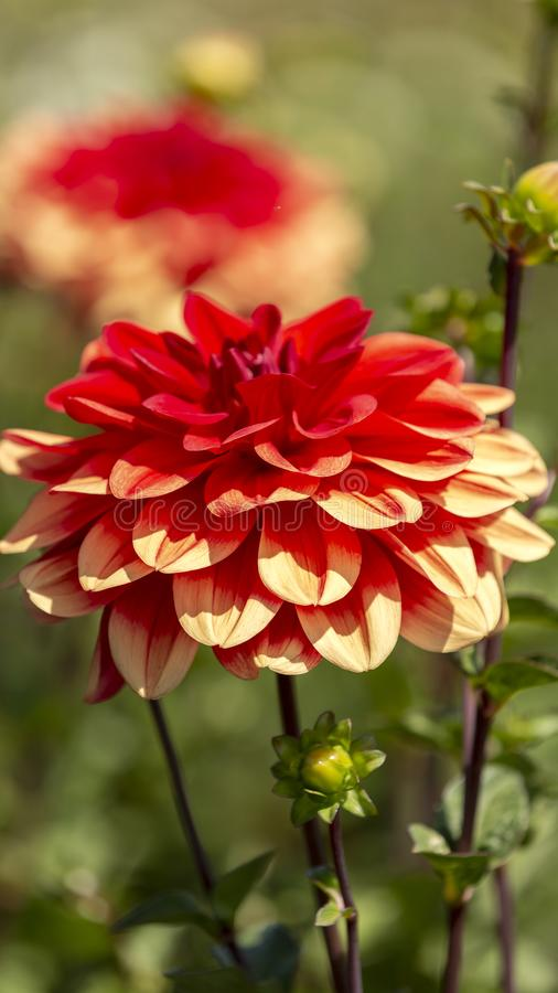 Dahlia and light royalty free stock image