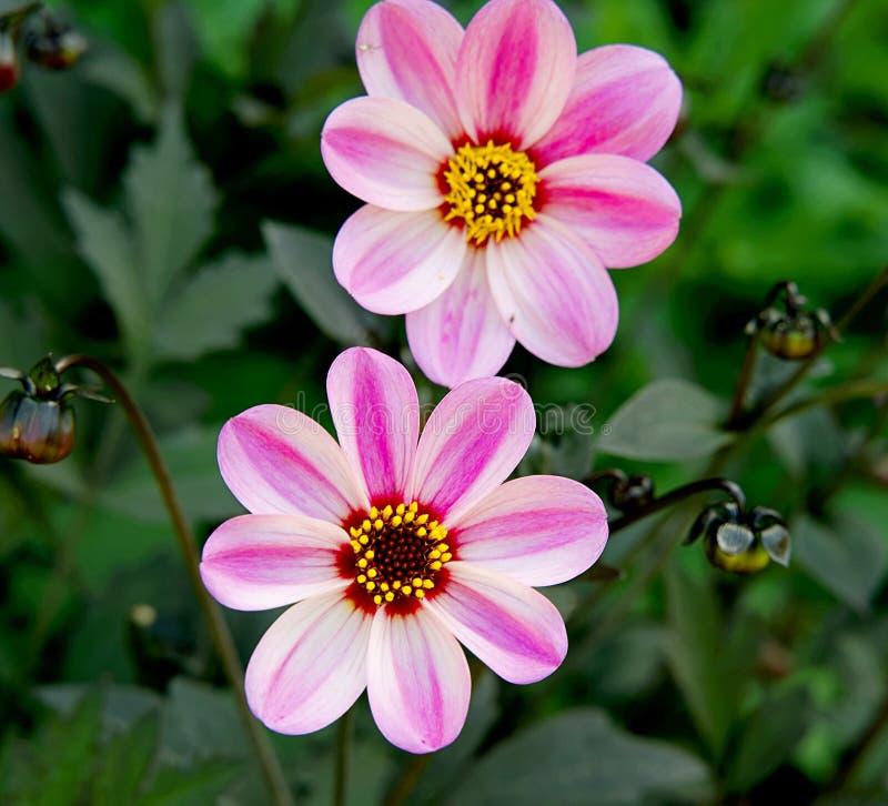 Dahlia Mystic Dreamer Pink Flower op Groene Bladerenachtergrond stock foto's