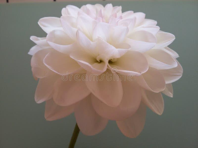 The dahlia royalty free stock photo