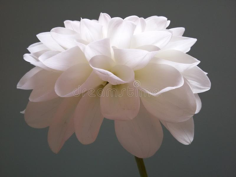 The dahlia stock images