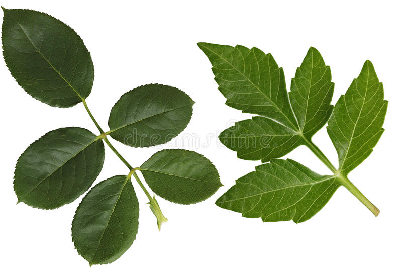 Dahlia och Rose Leaf royaltyfri bild
