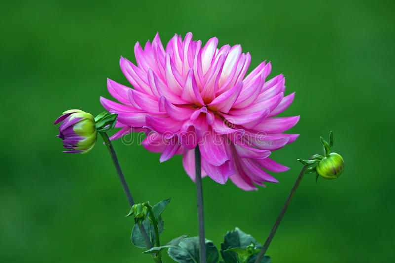 Dahlia. One Dahlia between two buds,  Asteraceae, upstate New York,  bushy, tuberous, herbaceous perennial plants native to Mexico, annual blooming stock photo