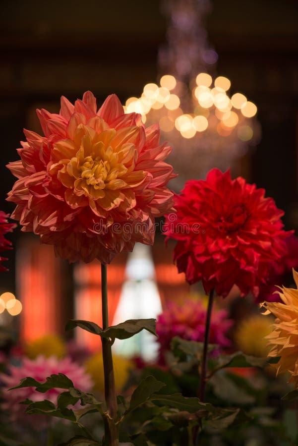 Dahlia orange et par rouge coloré vibrant image libre de droits