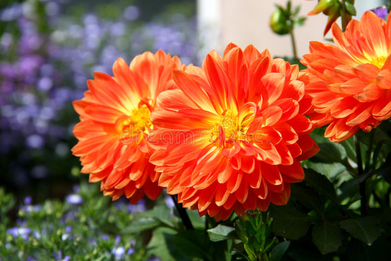 Dahlia orange lumineux photographie stock libre de droits