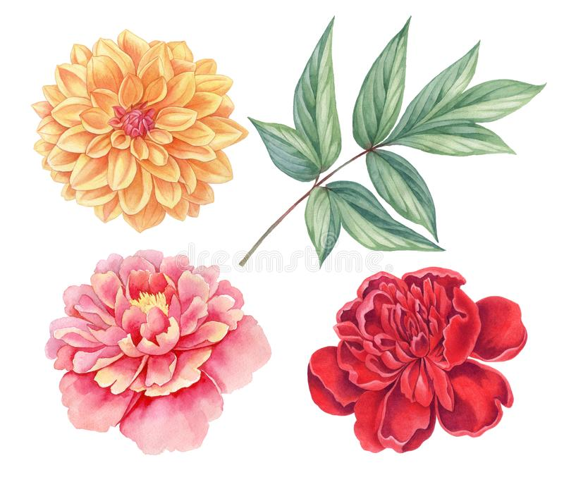 Dahlia and peony pink, red, yellow vintage flowers green leaves isolated on white background. Watercolor botany illustration. Dahlia and peony. Floral set of stock illustration