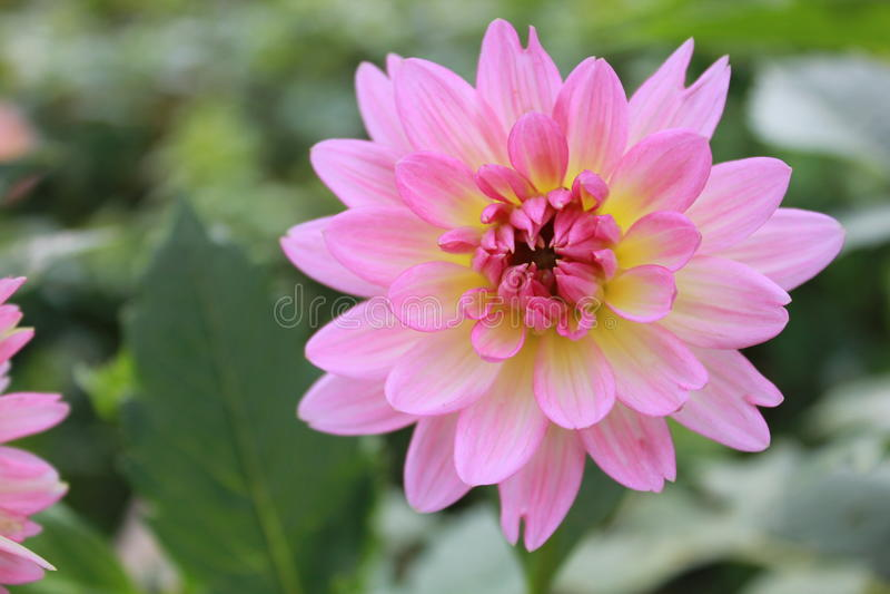 Dahlia Pink stockbild