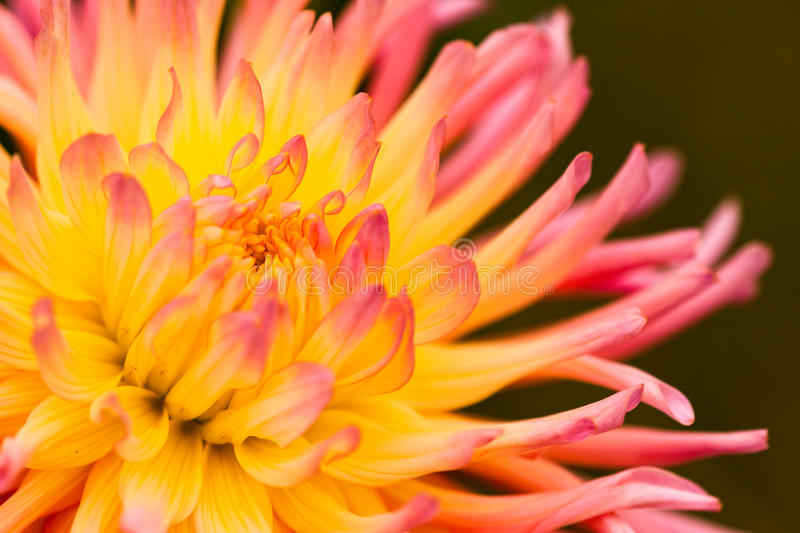 Dahlia Pink and Yellow stock images